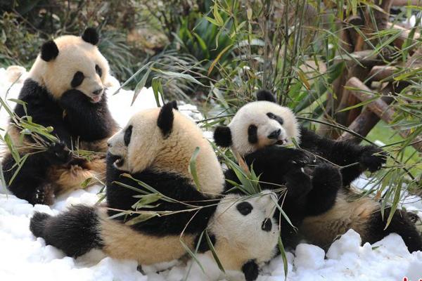 成都大熊猫宝宝雪地撒欢迎新春