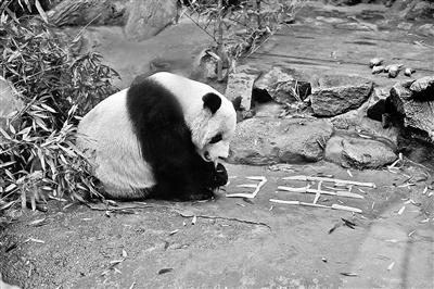 大熊猫年夜饭吃什么?竹笋+胡萝卜!