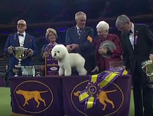 呆萌卷毛比熊犬获得美国犬展总冠军
