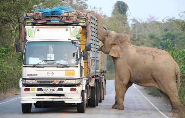 """馋嘴!泰国大象拦路""""抢劫""""甘蔗造成堵车"""