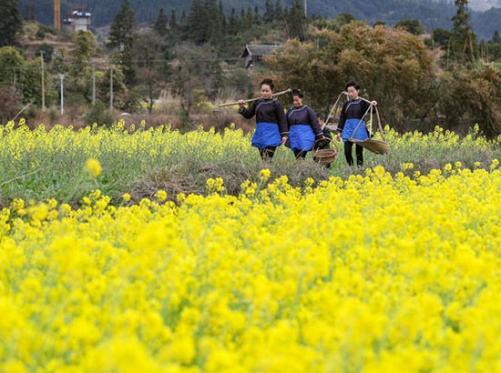 贵州侗寨田间稼穑忙 油菜花怒放春意盎然