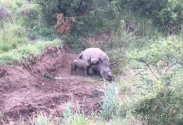 南非母犀牛惨遭割角死去 幼犀牛凄惨呼唤