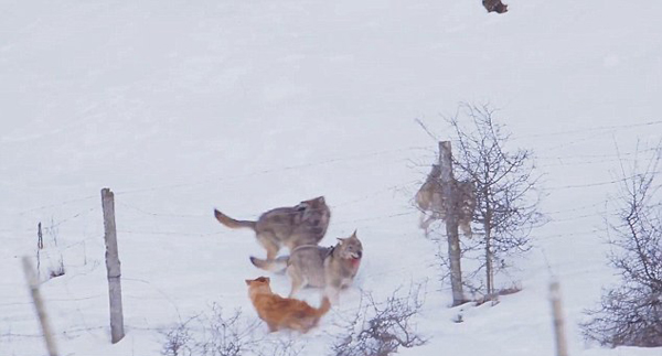 机智!意大利一小狗穿过篱笆缝隙摆脱三只狼围攻