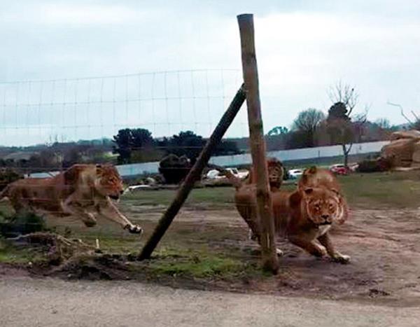 英狮群发狂攻击车辆 车内游客被困近1小时
