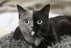 """摄影师拍摄""""双脸猫"""""""