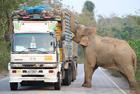 """大象""""抢劫""""甘蔗车"""