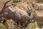 花豹捕食牛羚斑马均失败