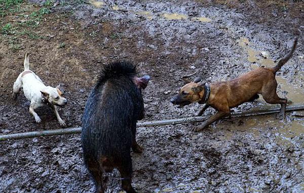 印尼野猪竞赛用比特犬攻击野猪 被指虐待动物
