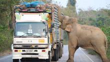 """泰国大象拦路""""抢劫""""甘蔗造成堵车"""