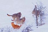 意大利小狗穿过篱笆缝隙摆脱三只狼围攻