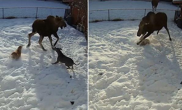 美驼鹿为护幼崽 在房主后院疯狂踢打可卡犬