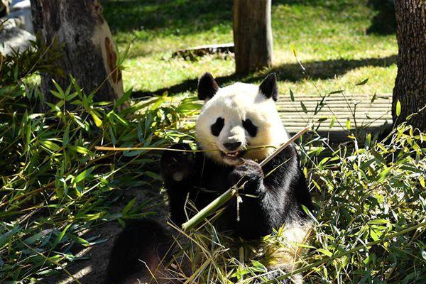 中西两国续签大熊猫合作研究协议