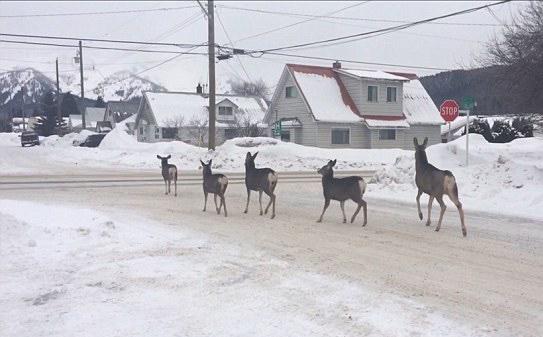 野生鹿群过马路遵守交通规则  偶遇男子记录全程