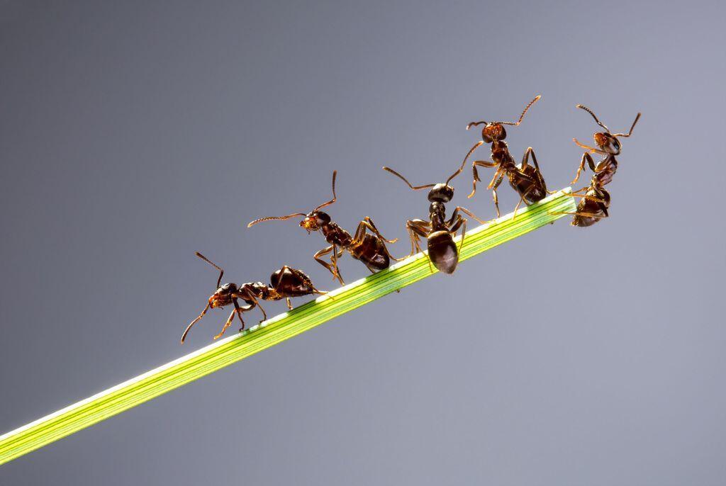蚂蚁天生就有抗菌物质 人体感染治疗药物或有新来源