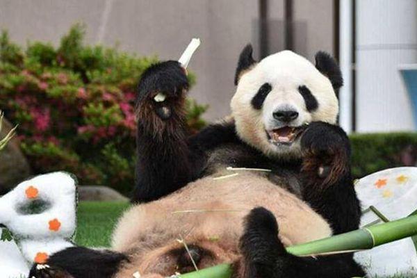 """成都旅日大熊猫""""永明""""荣获日本动物大奖最高奖"""