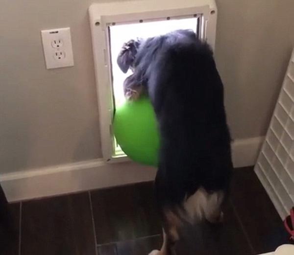 狗狗尝试把大球推出狗门 蠢萌模样逗乐网友