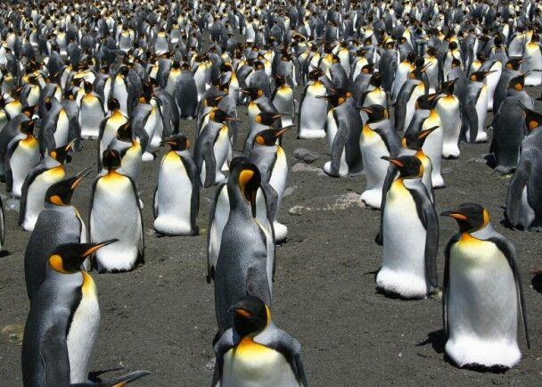 可怕!研究:全球暖化下70%国王企鹅或本世纪末消失