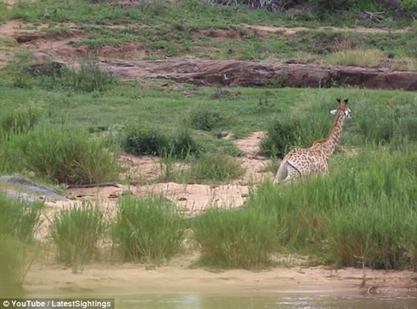 出鳄口遇狮群!长颈鹿遭巨鳄攻击后被狮群分食
