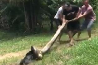巴西小狗遭巨蟒死死缠住 村民合力营救终脱险