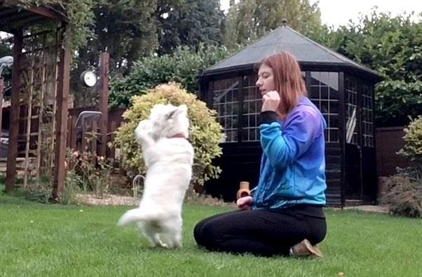 英国天才小猎犬表演倒立 会几十种动作超级萌