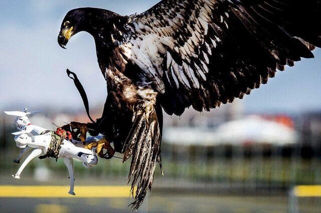 脑洞大开 瑞士警方训练老鹰拦截无人机