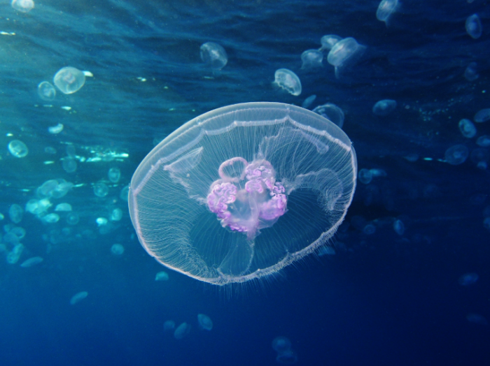 研究人员在印度尼西亚发现大量隐藏着水母的湖泊