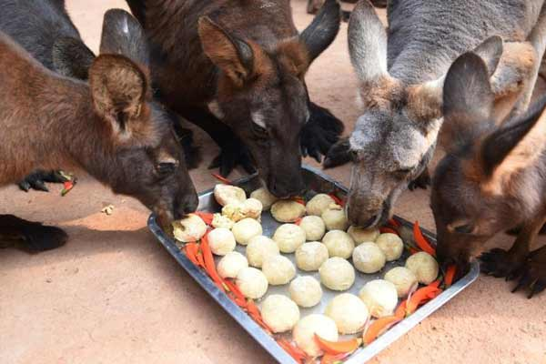 """深圳野生动物园动物们元宵节也有""""汤圆""""吃"""