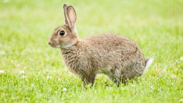 """新西兰计划释放""""杀兔病毒"""" 家养的萌萌兔怎么办?"""