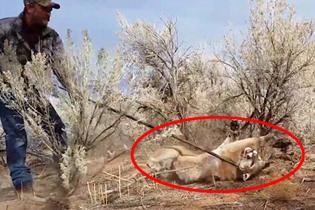 勇敢!美洲狮误入陷阱 猎人近身解救将其放生