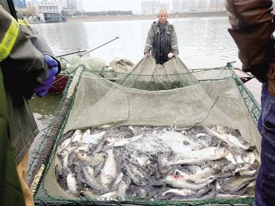 郑州闹市区湖中大场面捕鱼:放生鱼太多常大量死亡