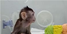"""克隆猴出生3个月再亮相 """"姐妹""""傻傻分不清"""