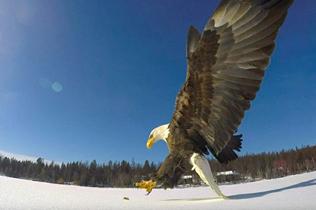 迅速!美渔民以鱼为饵 捕捉白头鹰冰湖猎食画面