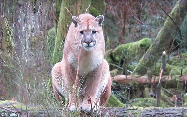 """男子丛林偶遇美洲狮 """"对峙""""1小时后将其吓退"""