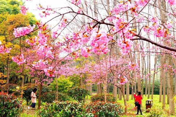 上海樱花节即将揭幕