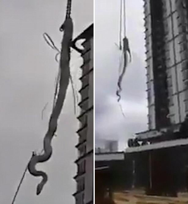 印尼5米长蟒蛇爬上楼顶 消防员用塔吊移下地面