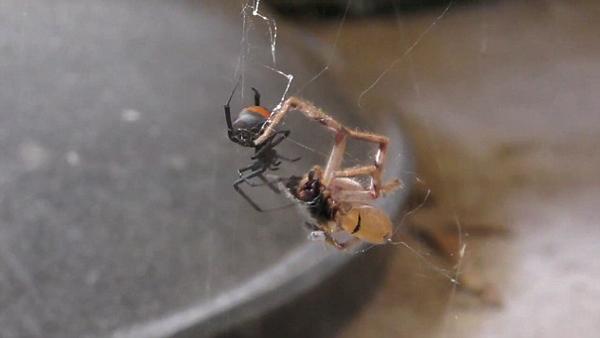 致命红背蜘蛛捕食高脚蜘蛛 蚕食殆尽触目惊心