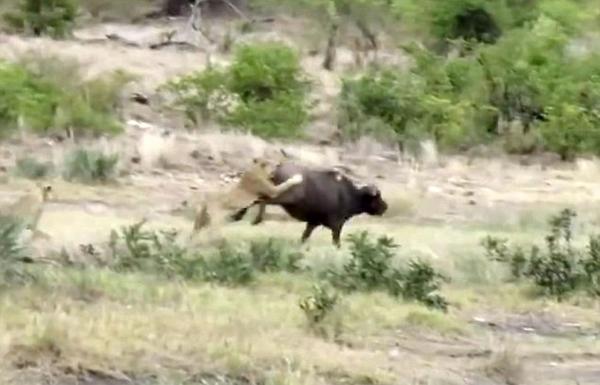 无处安放的自尊?南非三只狮子围捕水牛无功而返