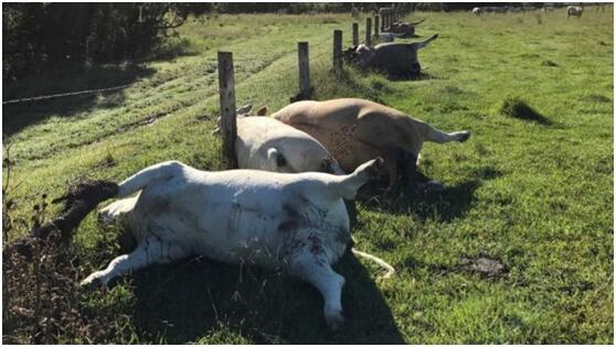 澳牛群意外死亡时排列整齐 专家:遭雷击中