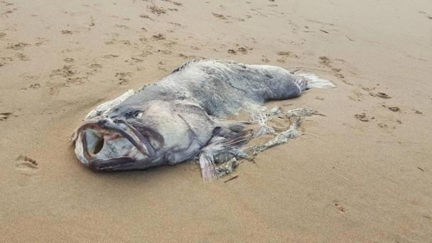澳大利亚2米长巨鱼海滩搁浅 尸体完整却神秘消失引发热议