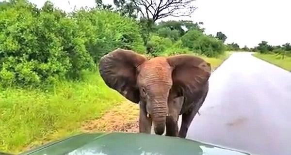 南非一小象截停车辆玩耍 游客无奈开车逃走