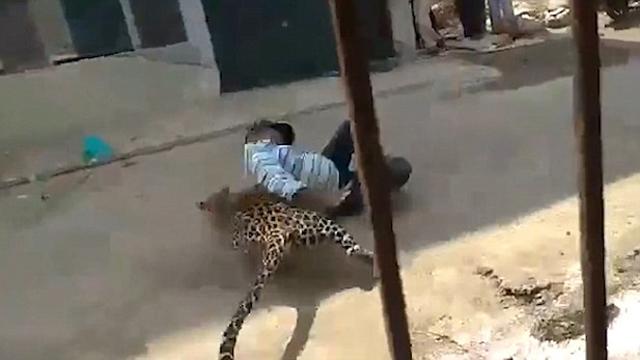 印度金钱豹被困民宅后绝地反击 将男子扑倒在地