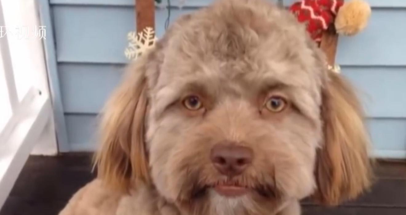 视频 这只小狗狗看起来好像长了一张人脸...