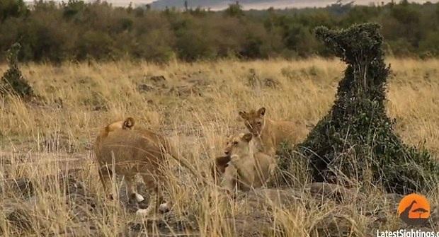 狮口脱险!肯尼亚猫鼬遭四只狮子围捕幸运逃脱
