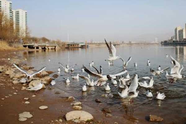 甘肃黄河三峡迎来成群候鸟 停歇觅食引游人观赏
