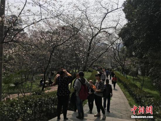 武汉大学赏樱实行预约限流 引入人脸识别技术