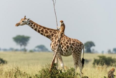 """乌干达小猴子意外""""骑""""长颈鹿 与""""高妹""""比高"""