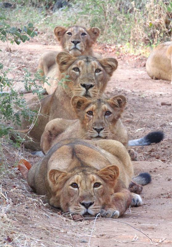 可爱!印度母狮子和幼崽列队拍全家福