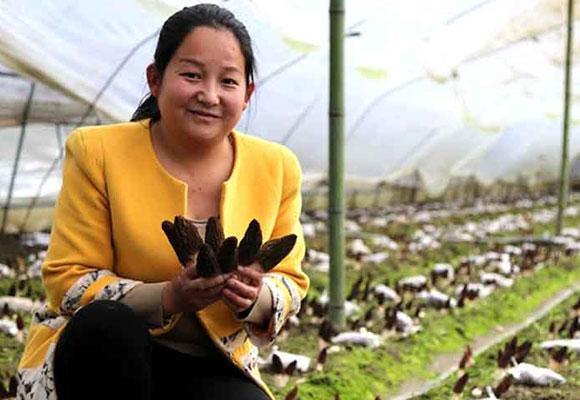陕西夫妻种植羊肚菌 一斤鲜菇能卖100多元