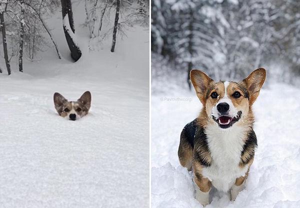 美国科基犬深雪中艰难奔跑 身体被埋可爱至极