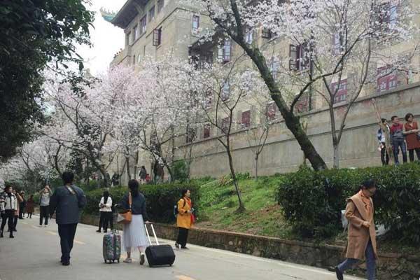 武汉大学樱花绽放 外地游客慕名前往赏樱